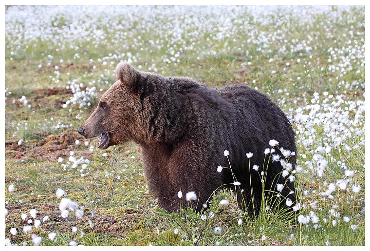 Brown Bear 5- Looking good.