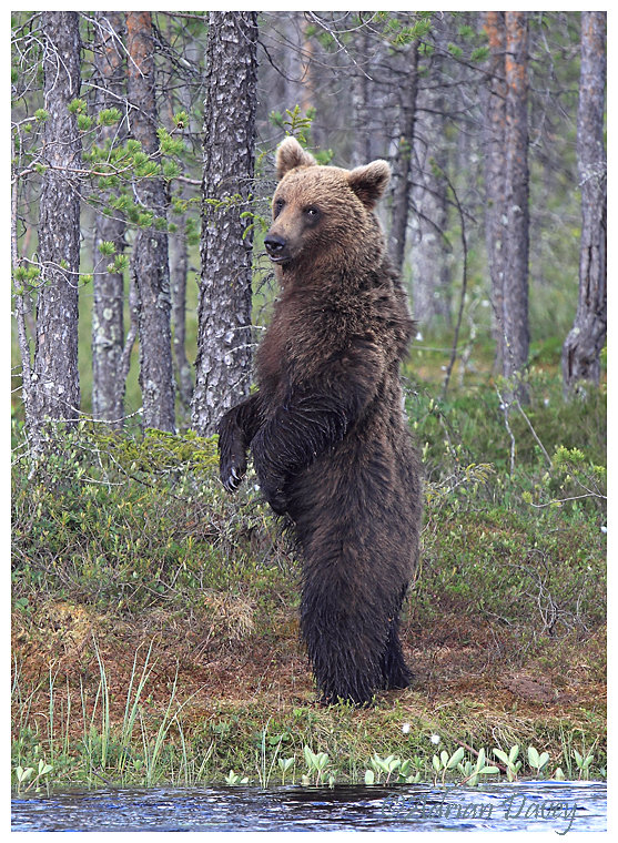 Brown Bear 12- Standing to attention_& looking straight at us.