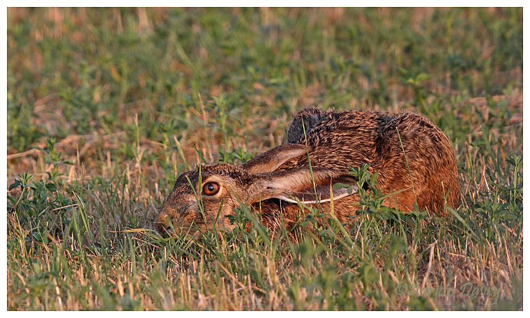 Brown Hare trying to look hidden.
