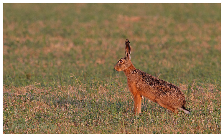 Brown Hare in late evening sunlight.