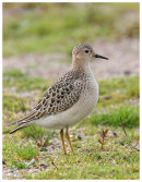 Buff Brested Sandpiper