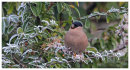 Bullfinch female eating frosty cotoneaster