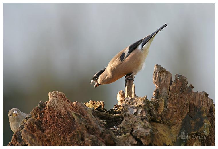 Bullfinch threatening House Sparrow