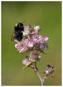 Bumblebee on Bramble flower