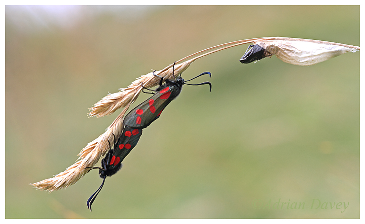 Six Spot Burnet Moth with pupa case.