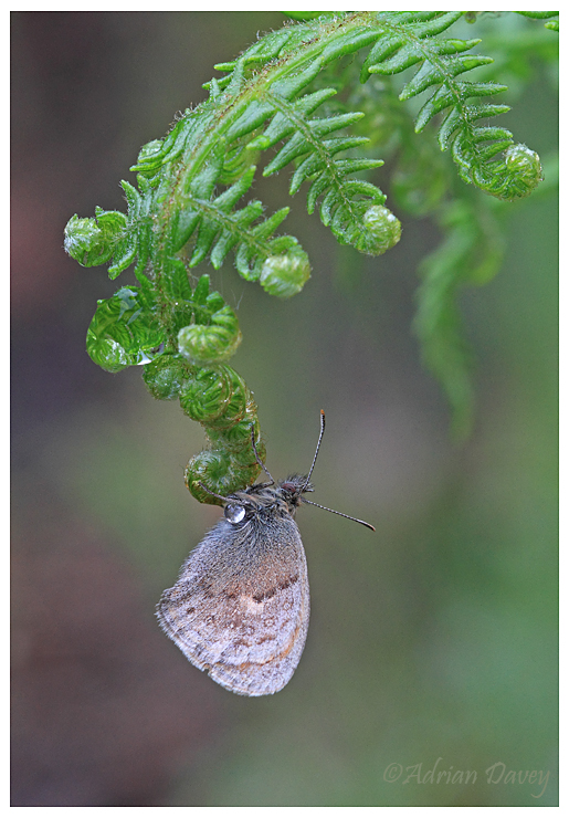 Butterfly on fern in the rain.