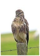 Buzzard posing on a post.