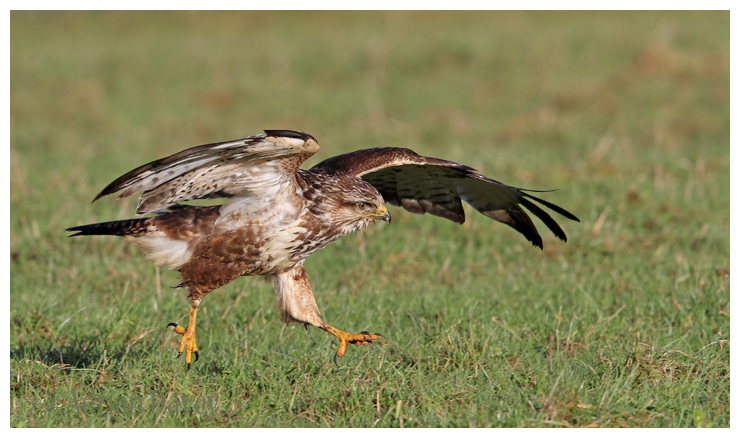 Buzzard chasing Insects