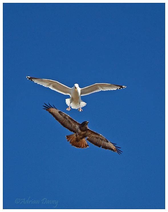 Buzzard mobbed by Herring Gull