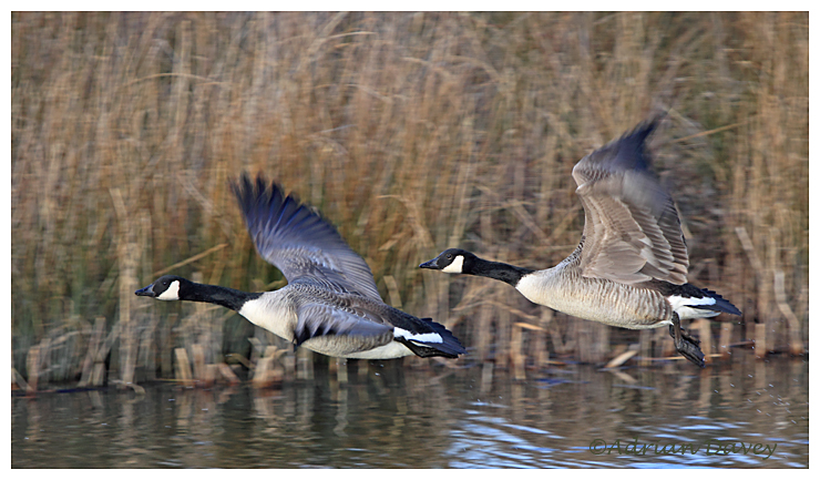 Canada Goose take off