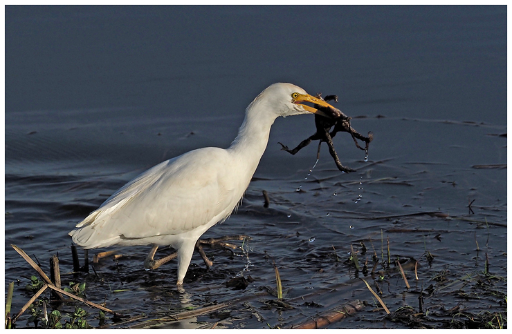 Cattle Egret with Frogs