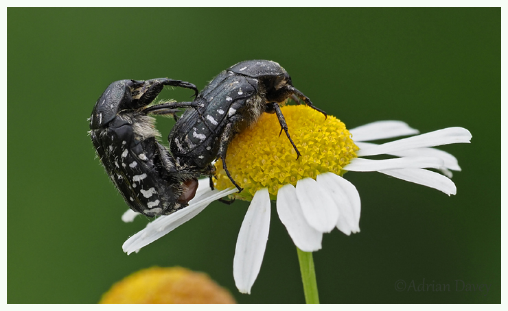 Spotted Chafers mating