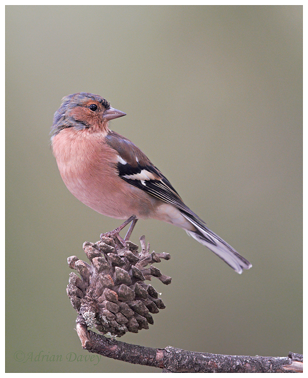 Chaffinch perched on Pinecone.