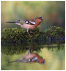 Chaffinch at poolside