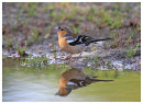 Chaffinch going to drink.