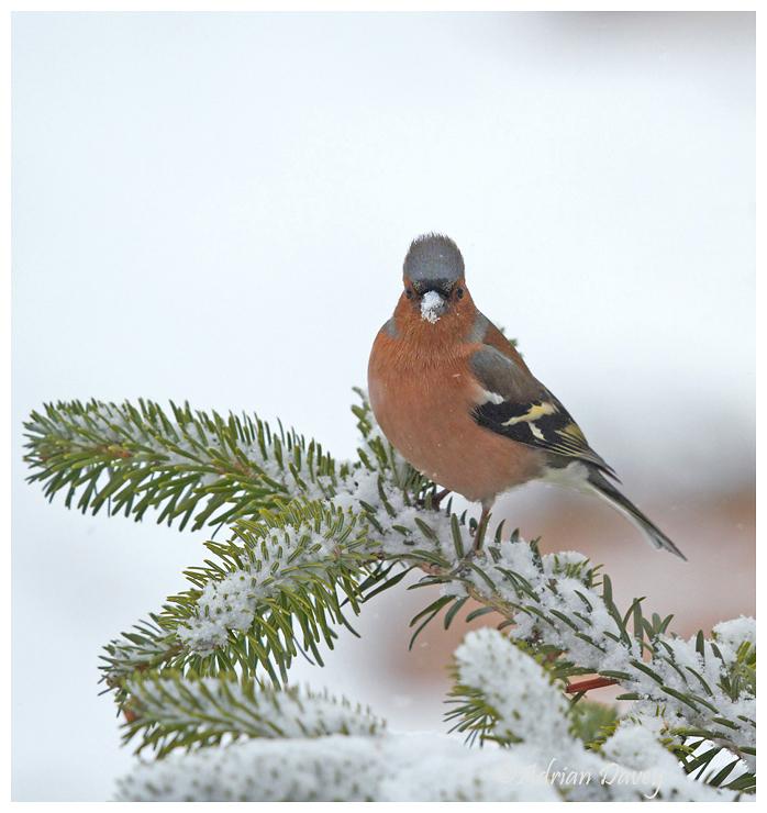 Chaffinch on snowy branch