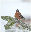 Chaffinch on snowy branch