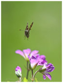 Chequered Skipper approaching flower.