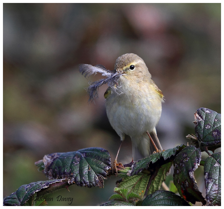 Chiffchaff with nesting matrial 1