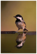 Coal Tit reflection