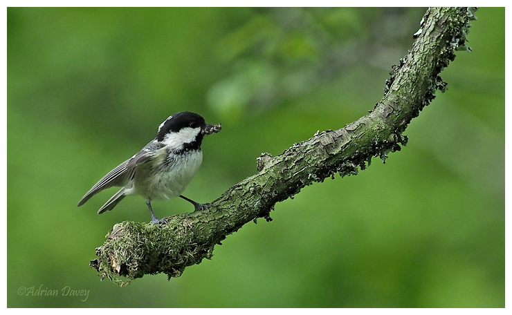 Coal Tit with food for young 1
