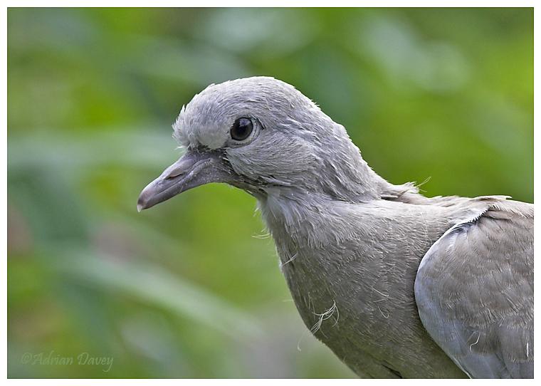 Fledgling Collared Dove