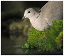 Collared Dove drinking 2