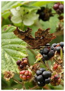 Comma on Blackberries.