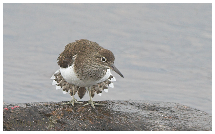 Common Sandpiper displaying