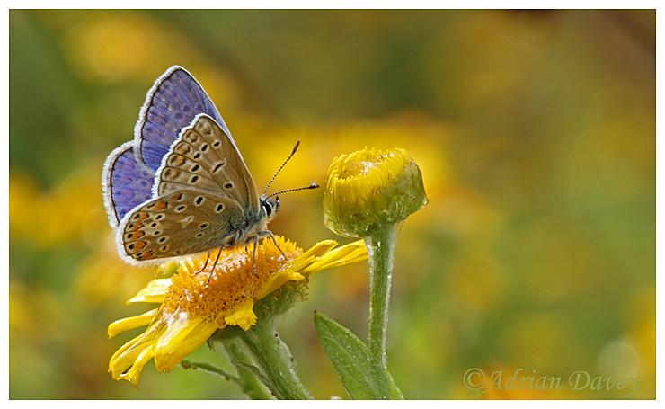 Common Blue on Fleabane