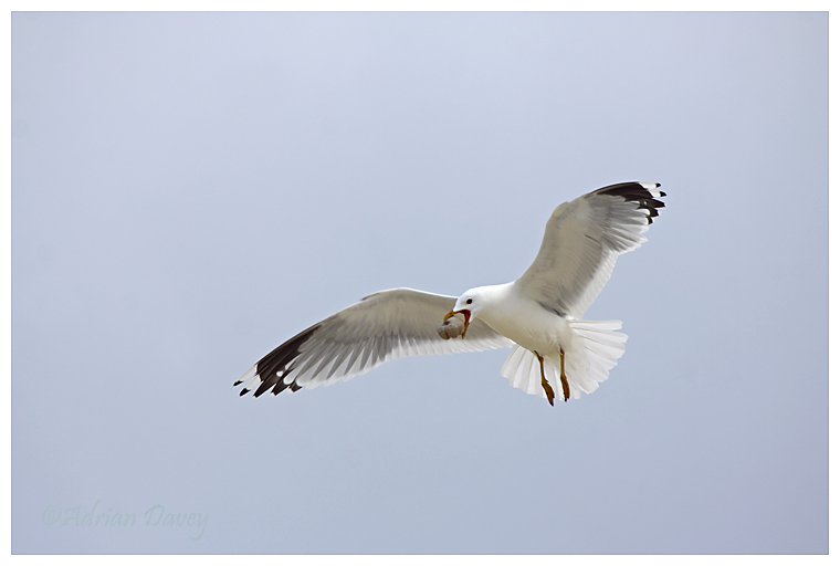 Common Gull dropping food item?