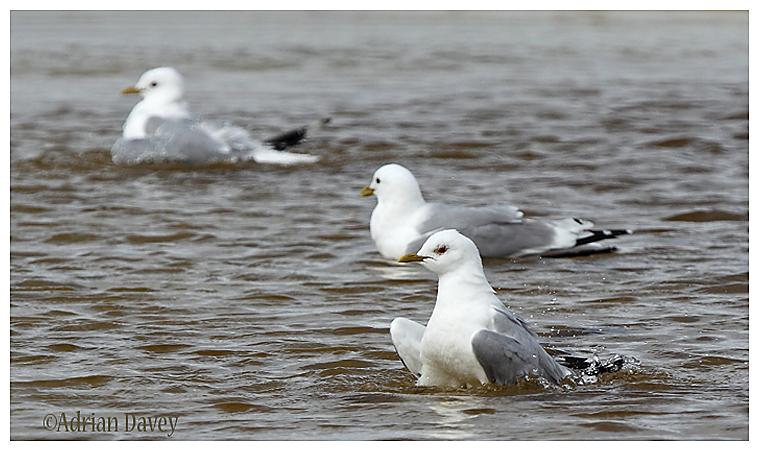 Common Gulls bathing 1