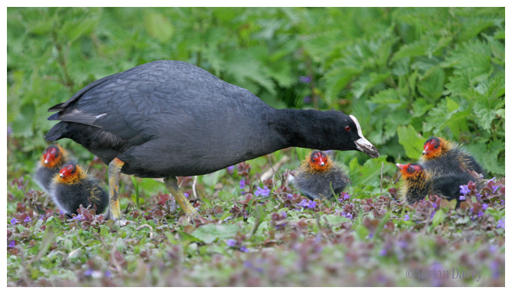 Coot with five young