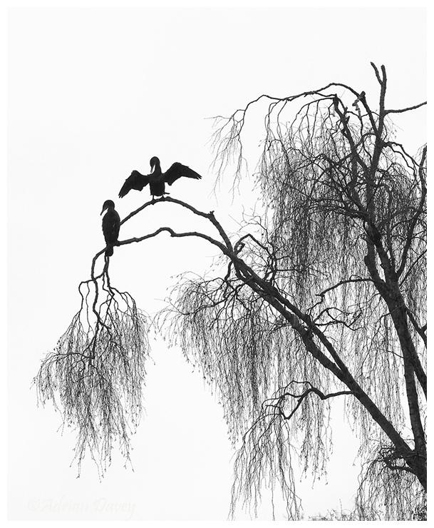 Cormorants in Willow
