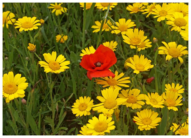 Corn Marigolds & Common Poppy-A feast of colour