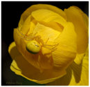 Crab Spider on Globe Flower
