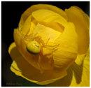 Crab Spider on Globe Flower