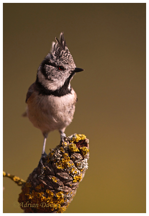 Crested Tit on Pine Cone
