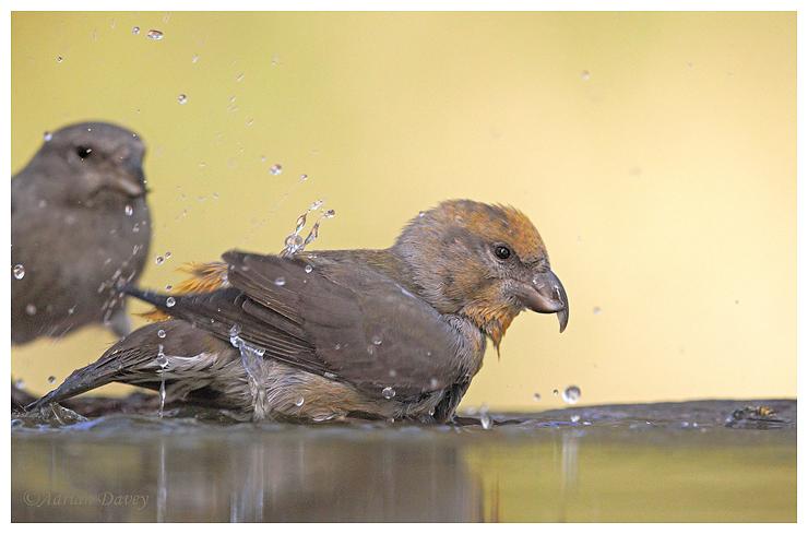 Crossbill. Female bathing