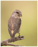 Crossbill. Female