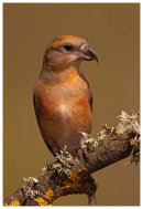 Crossbill. Male