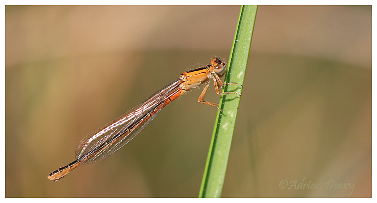 Scarce Blue Tailed Damselfly.Female imm.