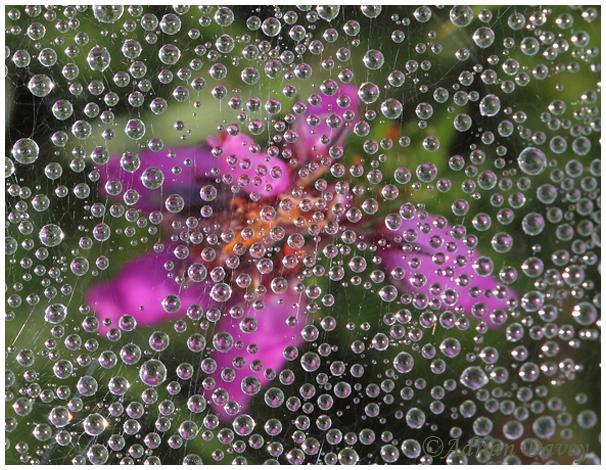 Heather beneath Dewy Webs