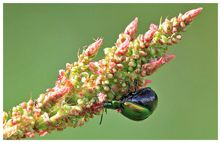 Dock Beetle