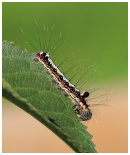 Drinker Moth Caterpiller