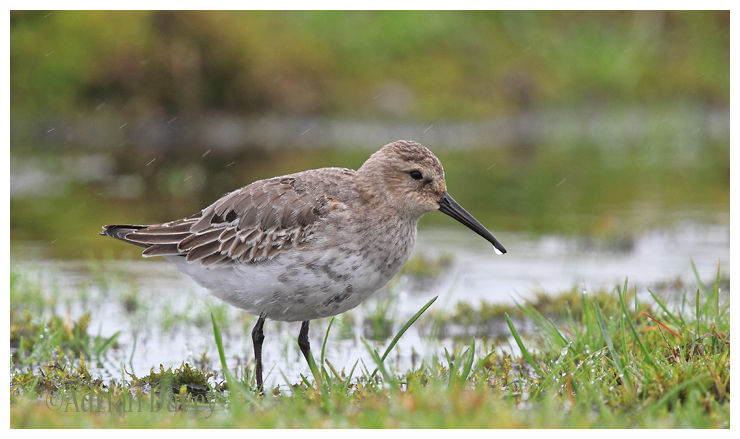 Dunlin,adult winter.