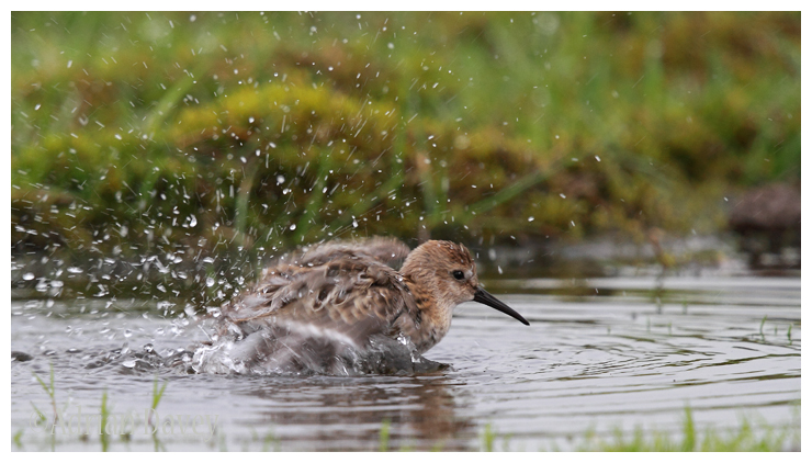 Dunlin bathing