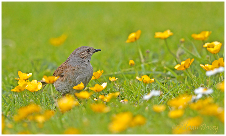 Dunnock and Buttercups