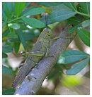 Egyptian Grasshoper