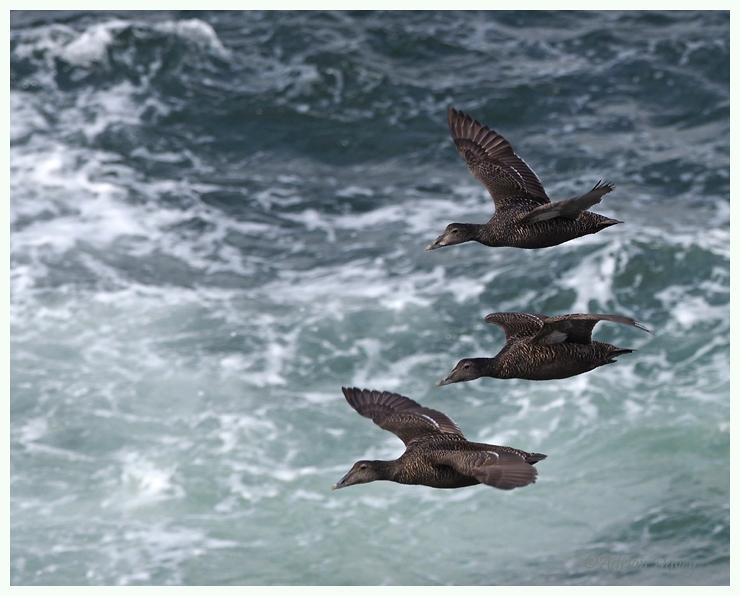 Eider Ducks flypast.